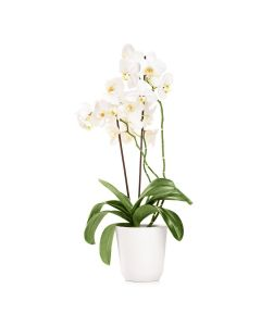 Pearl Essence Exotic Orchid Plant