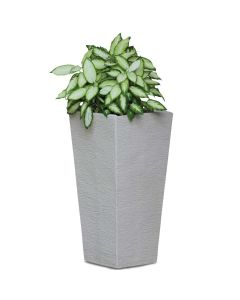 Star Bright Camille Dieffenbachia Plant