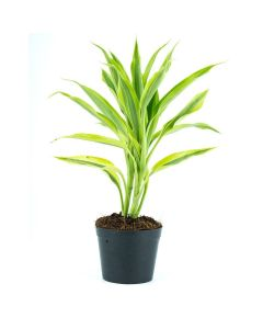 Crowning Glory Tropical Plant