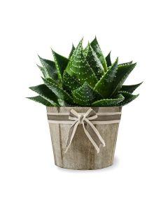 Pristine Elegance Aloe Vera Plant
