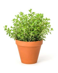 Kitchen Secrets Collection - Oregano Plant