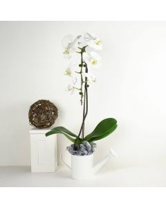 Pure & Simple Exotic Orchid Plant