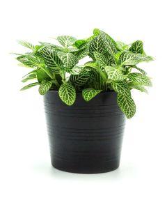 Tropical Dieffenbachia Plant