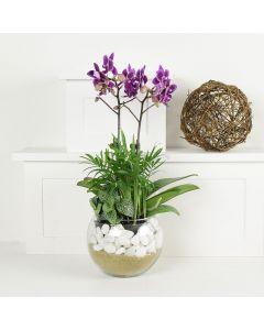 Violet Delight Exotic Orchid Plant