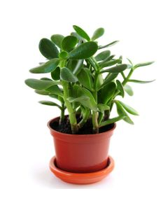 The Old Fashioned Money Plant