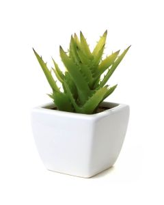 Peaceful Glory Aloe Vera Plant