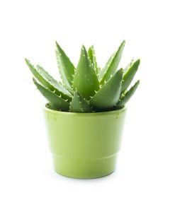 Chartreuse Elegance Aloe Vera Plant