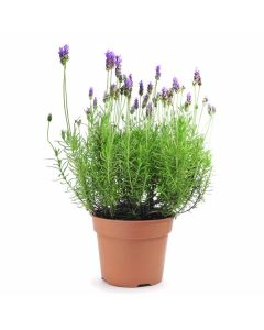 Eternally Fragrant Lavender Plant