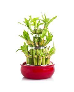 Lucky Streak Bamboo Plant