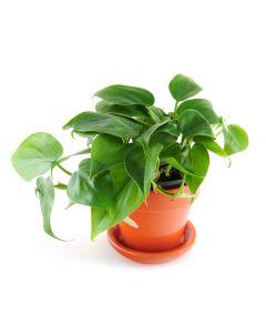 Heartleaf Philodendron Plant