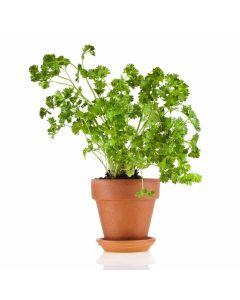 Kitchen Secrets Collection - Parsley Plant