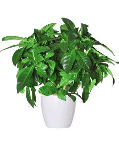 The Sourthern Living Gardenia Plant