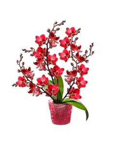 Oriental Musings Exotic Orchid Plant