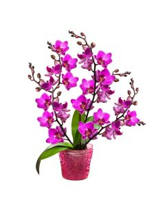 Perfect In Pink Exotic Orchid Plant