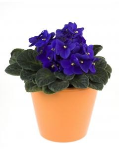 Calming Notes African Violet Plant