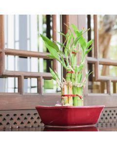 Bulbs & Bamboos