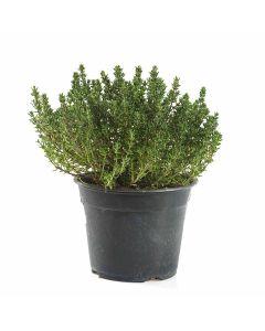 Kitchen Secrets Collection - Thyme Plant